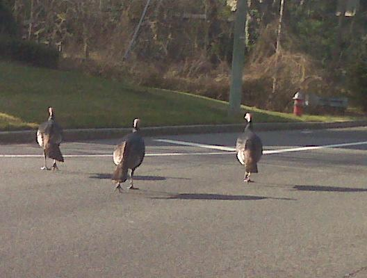 Day after Thanksgiving crossing the road 11/09