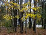 The bright yellow leaves changing