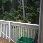 Deer in backyard eating all the hosta