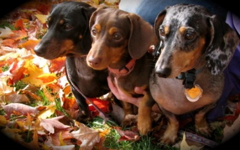 our 3 mini dachshunds...sometimes, the best medicine!