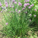 Chives June 20th