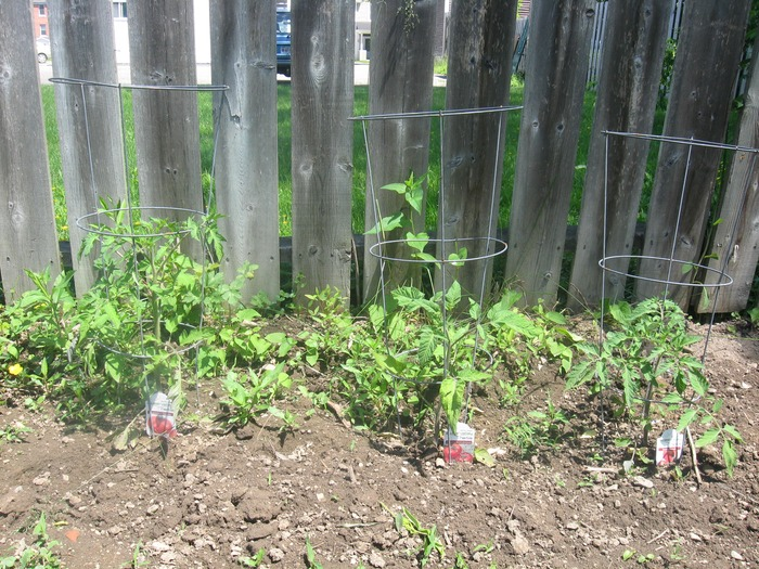 tomatoes June 20th