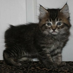 Another 'Bob kitten-this is Cody.
