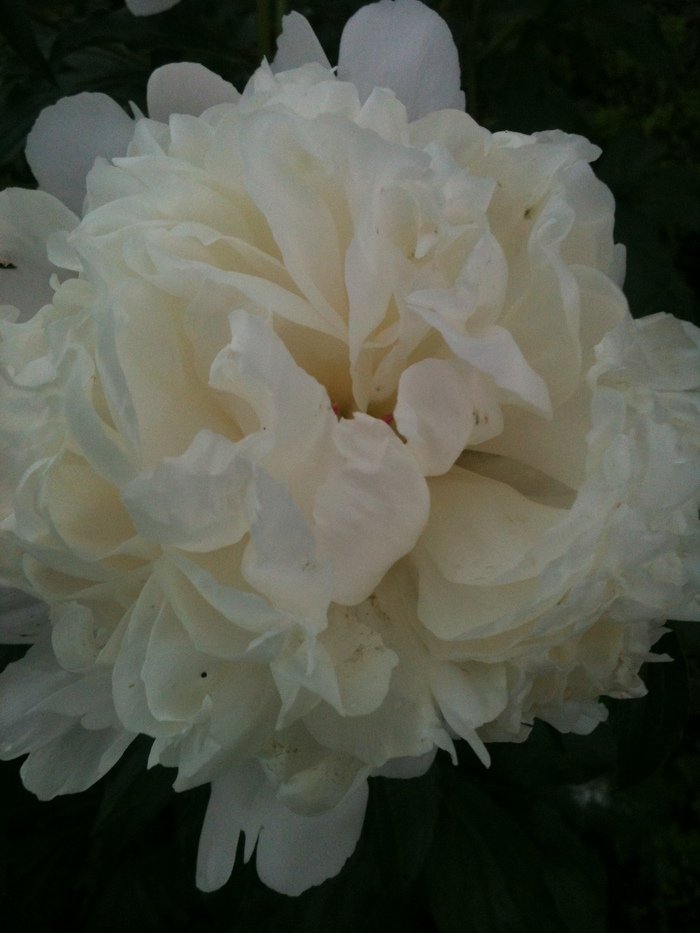 Buried my face in this lovely peony...