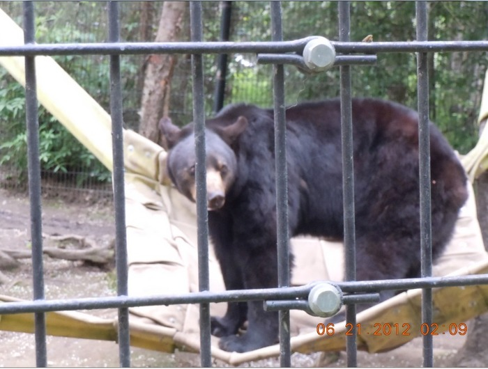"Alaska Zoo....bear on his giant ""Hammock"""