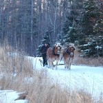 Now this is work!! These are our neighbors horses and he wanted to do some logging with them.