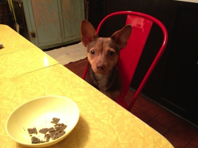 """Yoda"" sitting at the kitchen table wondering if there might be something left for her!"