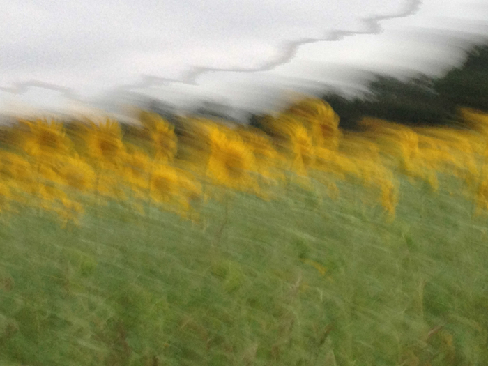 Sunflower Field in Passing