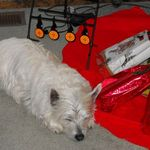 Merry Christmas 2013 from Wilson  Gone too soon 12-3-2014 A lovely Westie was he