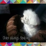 The Thinking Maltese