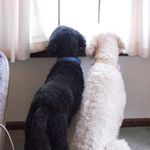 2014 Neighbor Dogs watching for mom, better here than a kennel but not home