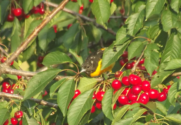 Baltimore oriole in our cherry tree :)