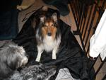 "Bailey from NE Ohio Collie Rescue-The Average dog has one request to all humankind.""Love Me."""