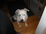 Petey-puppy mill pet shop pup- deaf - would have become dog meat if not rescued.