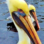 Love the Pelicans in our Bay!