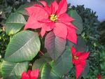 Last Year's Poinsettia (how do they know when to change color)
