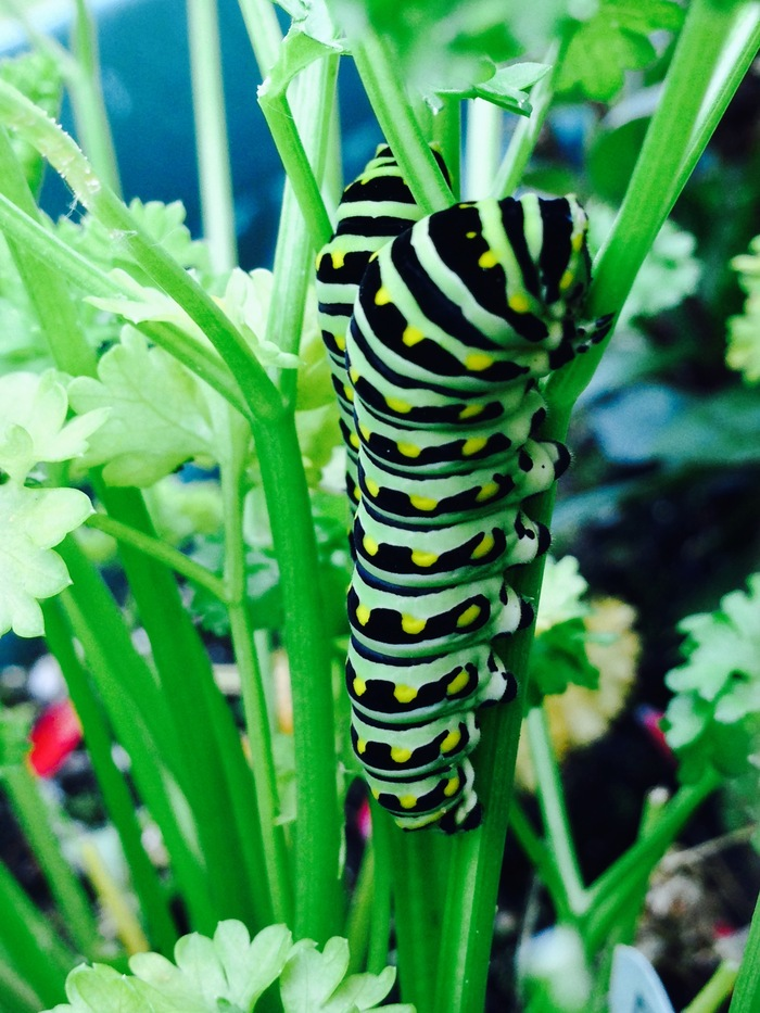 Eastern black swallowtail caterpillars in my parsley :P