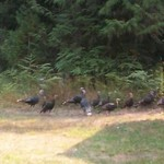 Thanksgivng is around the corner..Look out Wild Turkeys!