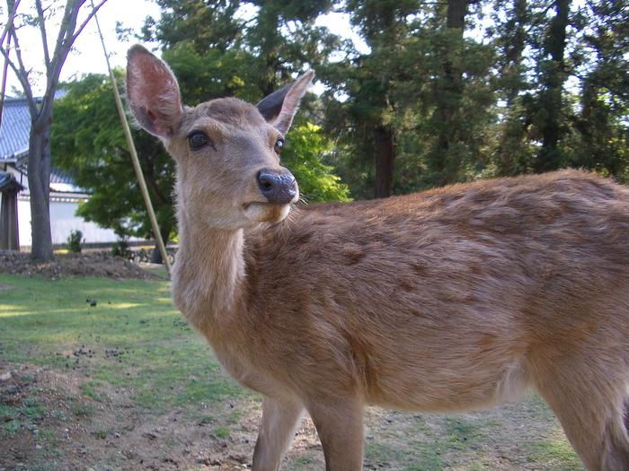 the deer at nara